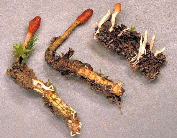 Đông trùng hạ thảo tươi