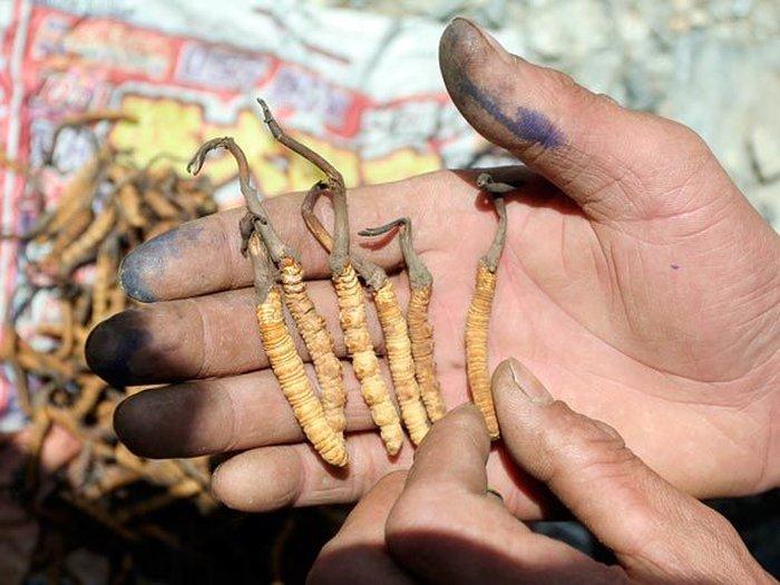 Đông trùng hạ thảo tự nhiên vô cùng quý hiếm, đắt đỏ