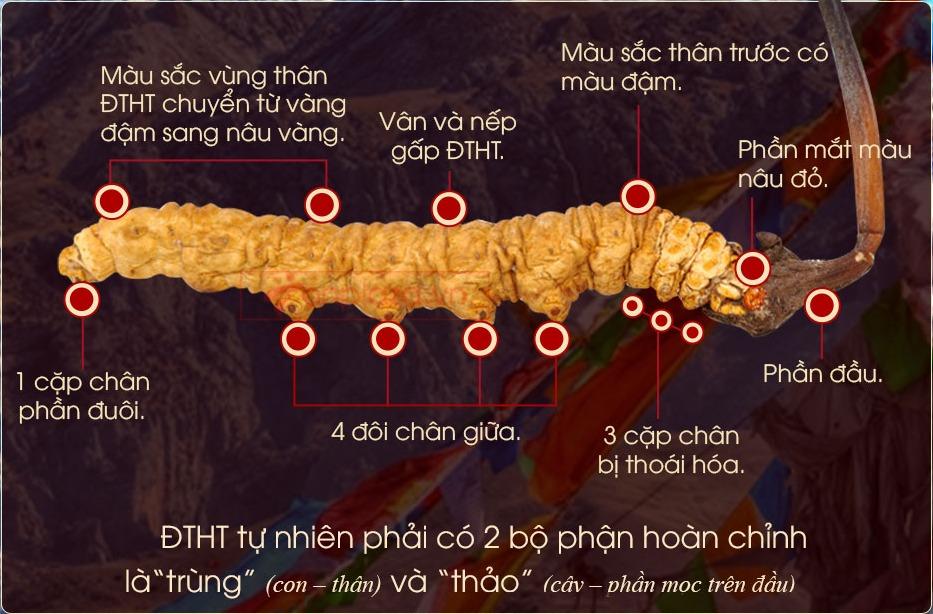 Hình thức đông trùng hạ thảo tự nhiên Tây Tạng