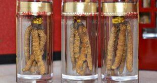 Lưu ý khi sử dụng dược liệu quý đông trùng hạ thảo
