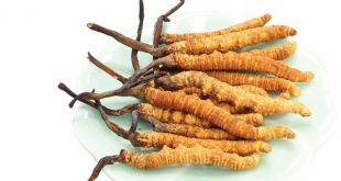 Hạ thảo đông trùng Tây Tạng được nhận biết bằng mùi vị