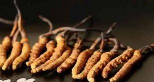 Đông trùng hạ thảo Tây Tạng và bệnh phổi