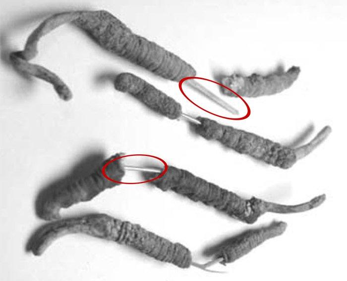 Đông trùng hạ thảo giả gây ra rất nhiều tác hại cho người dùng