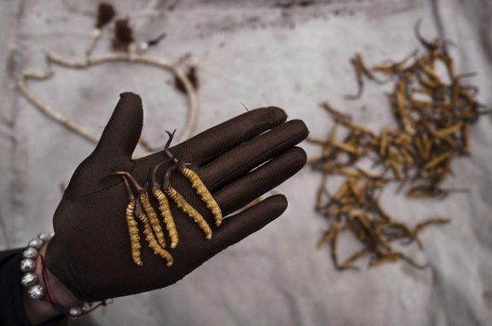 đông trùng hạ thảo được coi là kho báu của Tây Tạng